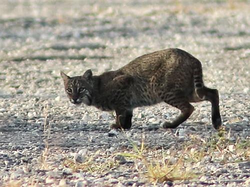 Bobcat 006 CROP-20180219