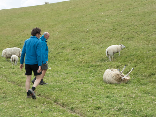 Het Oudfriesche skiepedraaie (schapenkeren).