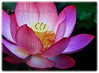 Nelumbo nucifera (Indian Lotus, Sacred Lotus, Sacred Water Lily, Egyptian Bean, Lotus, Teratai in Malay)