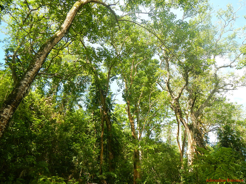 Lofty trees