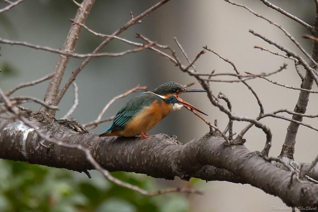 20180108-kingfisher-DSC_3259