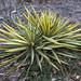 Small photo of Adam's Needle (Yucca filamentosa) NBG