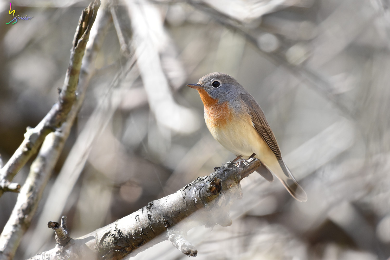 Red-breasted_Flycatcher_6576