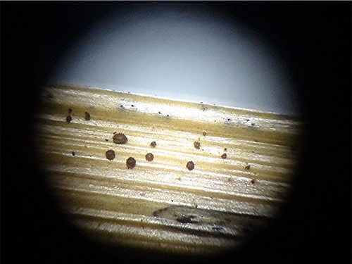 Nestförmiges Haarbecherchen - Lasiobelonium nidulus, NGIDn1671926454