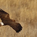 Northern Harrier by Circled Thrice