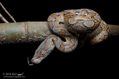 Python reticulatus_MG_9410 copy