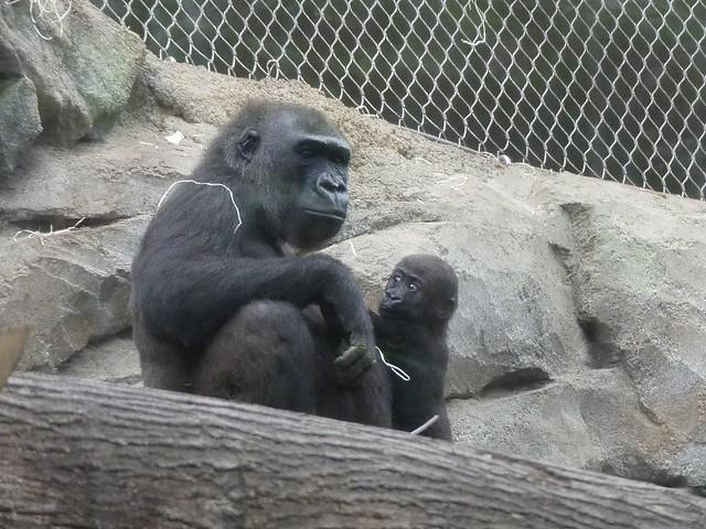Gorilla Dian + Xetsa, Zoo Frankfurt