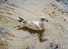 First Winter Herring Gull. Larus argentatus