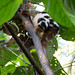 Phalangeridae: Spilocuscus papuensis (Waigeo Cuscus) 4