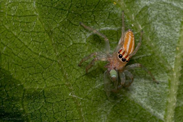 Saltarina, Chira spinosa (Jumping spider) - Female