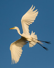 White Egret Inflight Changing Direction