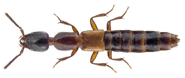 Xantholinus laevigatus Jacobsen, 184