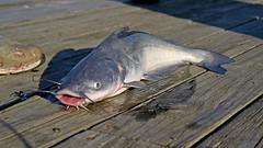 Caught catfish