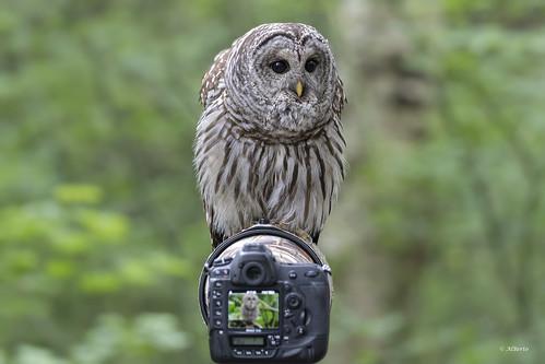 Barred Owl / Chouette rayée