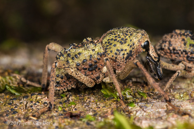 Weevil with 'tusks'