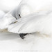Wilde zwaan / Whooper swan / Cygne Chanteur by Gladys Klip