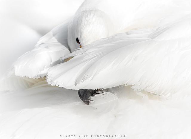 Wilde zwaan / Whooper swan / Cygne Chanteur