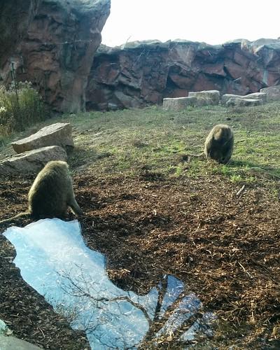 Olive baboon (1) #toronto #torontozoo #baboon #olivebaboon #mammal #primate #latergram