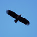 White-tailed Eagle by Mario Acquarone