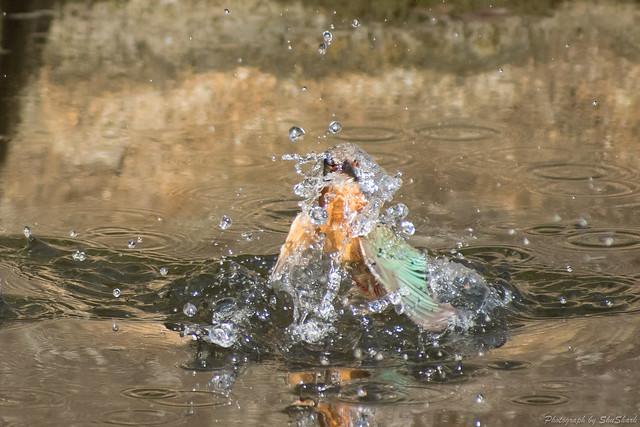20180126-kingfisher-DSC_5707