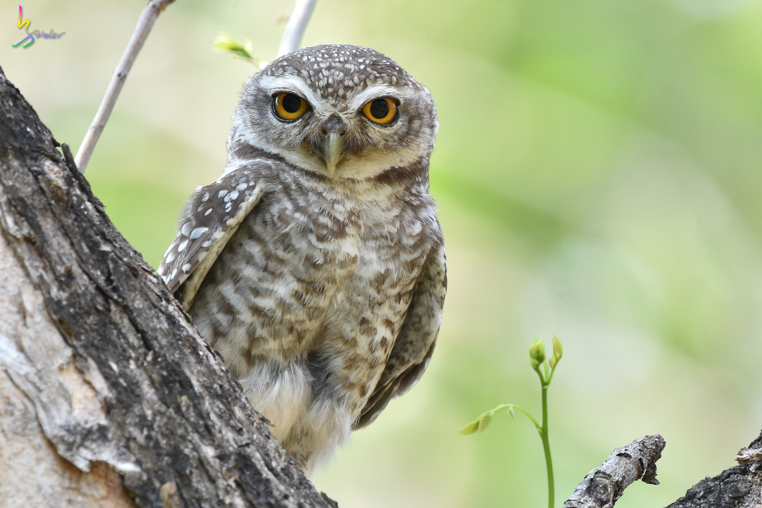 Spotted_Owlet_4921
