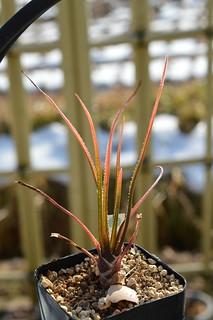 DSC_7696 Aloe cortolirioides アロエ コルトリリオイデス