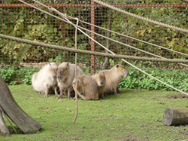 Capybara, GaiaZOOv