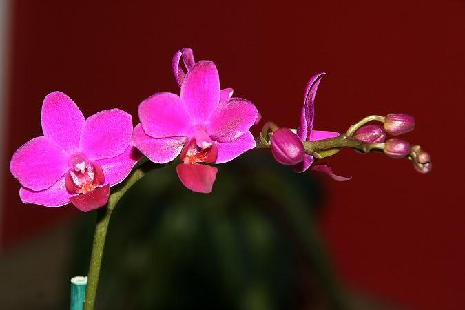 Les orchidées chez Sougriwa - Page 3 39109048084_a4a818dba6_b