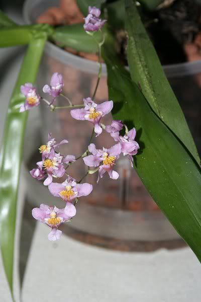 Les orchidées chez Sougriwa - Page 3 39109050624_e7d7206d45_z