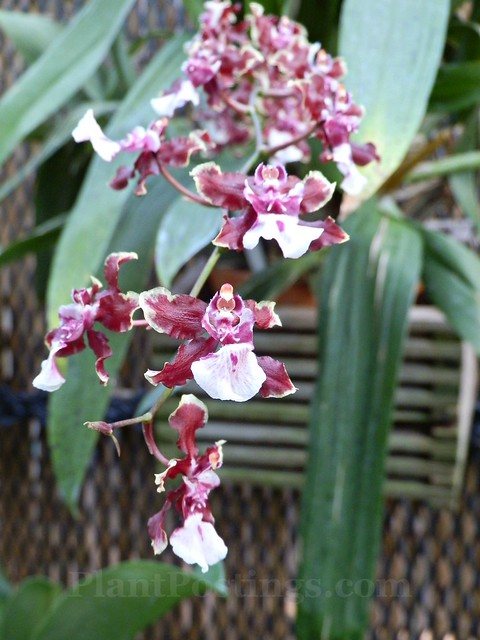 orchid oncidium sharry