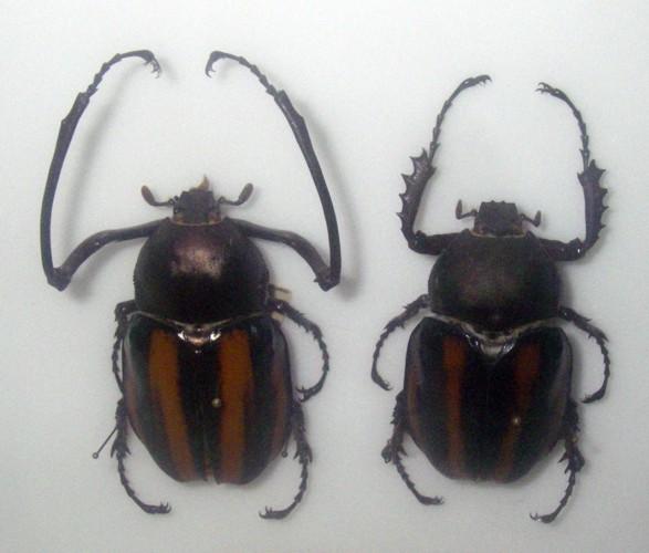 Euchirus dupontianus 39437489815_a3d4b13728_o