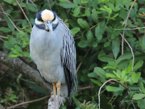 Yellow-crowned Night-Heron 01-20180108