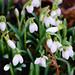 Snowdrops opening, Bantock Park