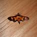 Crambidae: Aethaloessa calidalis