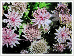 Prolific flowering Astrantia major (Greater Masterwort, Great Black Masterwort, Melancholy Gentlemen), March 2 2018