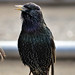 Chatterbox Starling ....