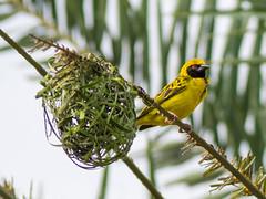 Dorf Webervogel / Village Weaver (ploceus cucullatus)