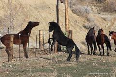 Wild Horses in Virgina City, Nevada