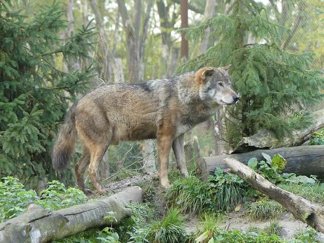 Eurasischer Wolf, GaiaZOO