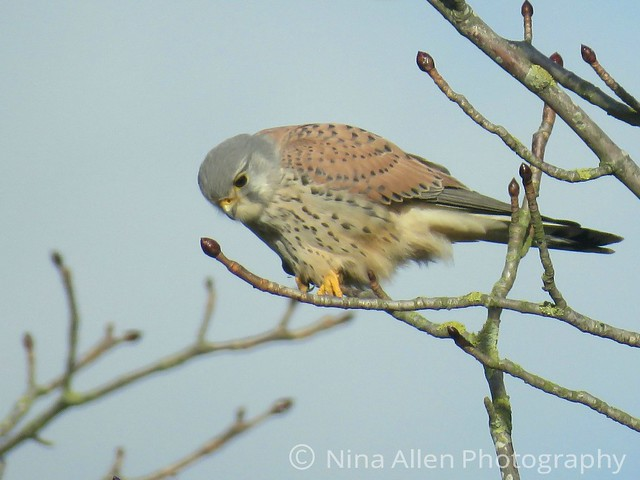 Beautiful male Kestrel, Hollesley suffolk