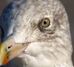 Eye Seagull cu