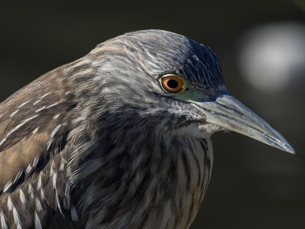Oiseaux divers [Ajout 2 images 1 mars 2018] 40407308732_6ec546771a_b