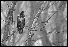 Juvenile Eagle in a Snow Storm at B. K. Leach Memorial Conservation Area