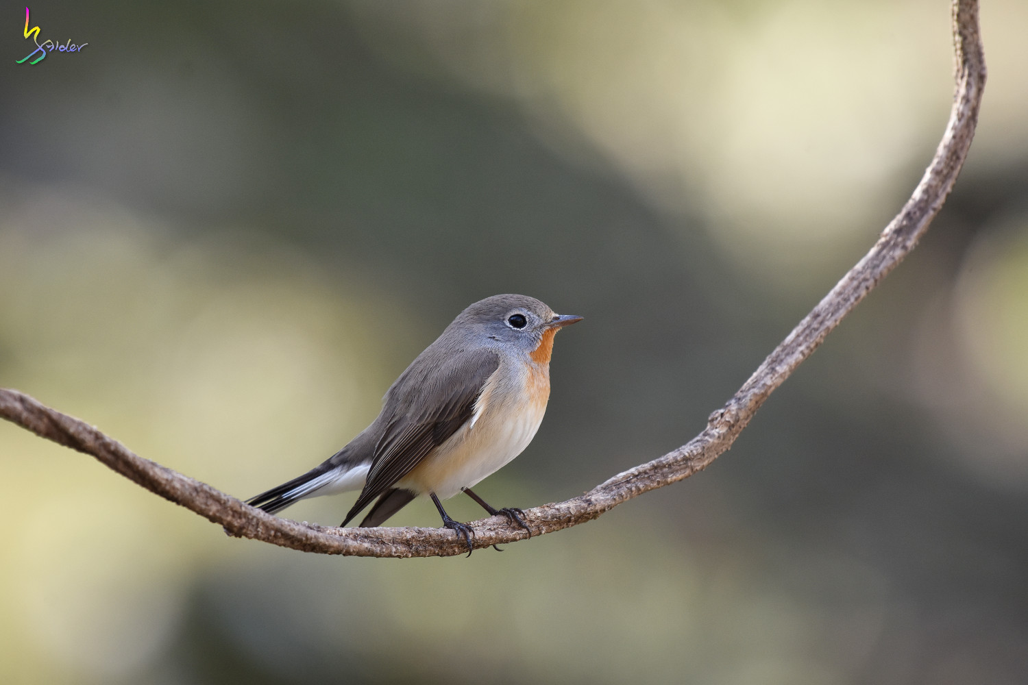 Red-breasted_Flycatcher_6840