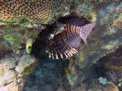 Lionfish (Pterois volitans), Hoga Island, Wakatobi NP
