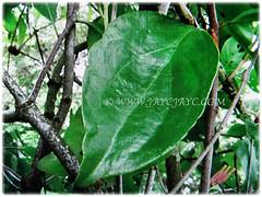 Lanceolate to elliptic leaves of Dendrophthoe pentandra (Malayan Mistletoe, Mango Mistletoe, Mistletoe Plant), 27 Jan 2018