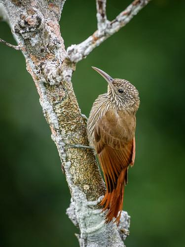 Lepidocolaptes albolineatus - CEG_9493