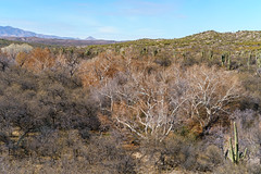 1801 Sycamore and Saguaro in Edgar Canyon