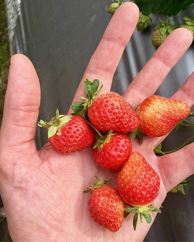 Picking Strawberries!