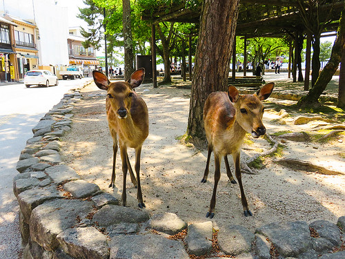 IMG_6508  Deer @ Miyajima Japan